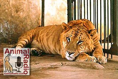 "A ""Liger"" Lion Tiger mix as seen at Shambala"