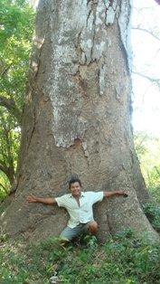 A magnificent Guanacaste Tree in the nature preserve in Finca Di Pacifico Dos