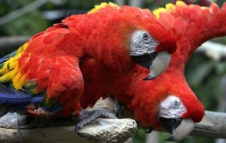 Rare and Endangered Scarlet Macaws