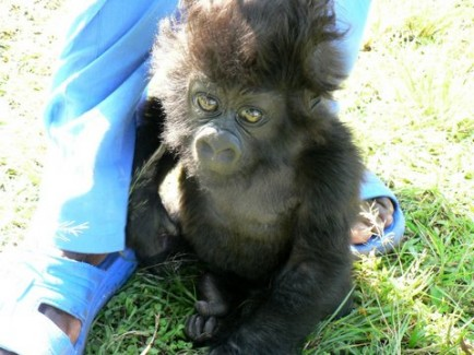 threat of endangerment the mountain gorilla Endangered mountain gorillas making a comeback  regional instability and  daily threats, the population of gorillas in the park has doubled.