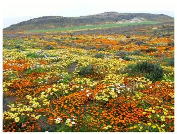 Cape Flowers, Namaqualand