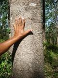 Gmelina Tree in Finca Di Pacifico Dos