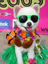 Worlds Cutest Dog Bobby Gorgeous at the Helen Woodward Surf Dog Surf a Thon