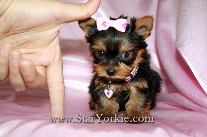 Tiny Teacup Yorkies Maltese Pomeranians Designer Breed Puppies