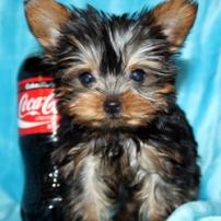 Teacup Yorkies puppy