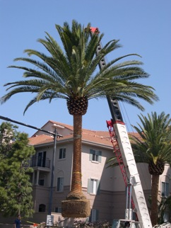 Canary Island Date Palm (Phoenx canariensis)