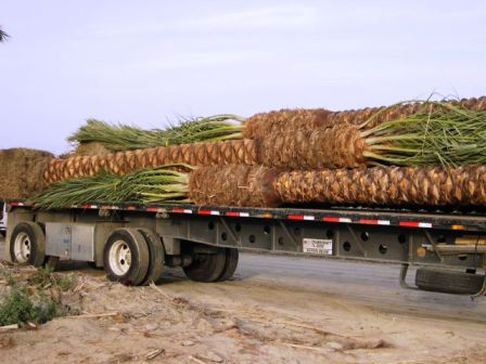 Phoenix dactylifera on truck and loaded for shipping to Texas