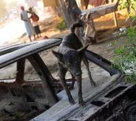 Dog in Haiti