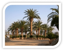 We Buy These Palm Trees from you for CASH