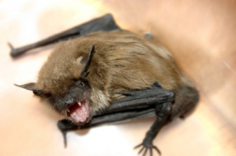 Raleigh Nc Bats In Home Bat Removal Advice By Trapper Dans