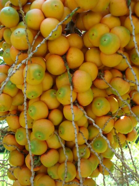 Jelly Palm fruit