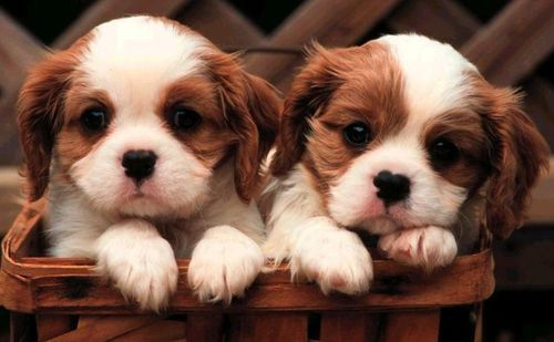 Puppies For Sale In Ohio - Find All Breeds - Cute Miniature & Teacup