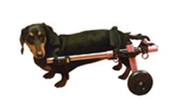 Dachshund in a Walkin Wheels Mini Dog Wheelchair