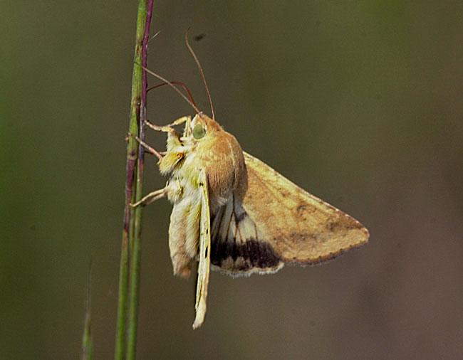 FIR Communication and the Corn Ear Moth