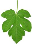 Fig leaves have antioxidant anti inflammatory properties