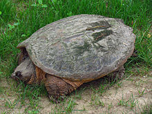 common snapping turtle (public domain image)