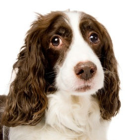 English Springer Spaniels get a discount in Oct