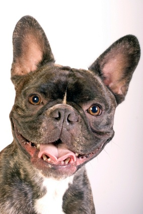 French Bulldogs receive a discount this month!