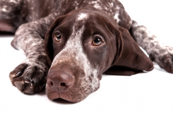 German Shorthaired Pointers get a discount!