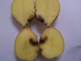 Damage in potato in Sudan 2-2