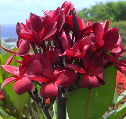 Red Plumeira Hawaii