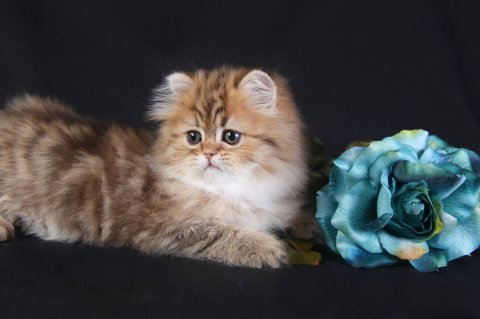 Chinchilla For Sale >> Chinchilla Golden Teacup Persian Kitten - Merigold -- Trisha Johnson | PRLog