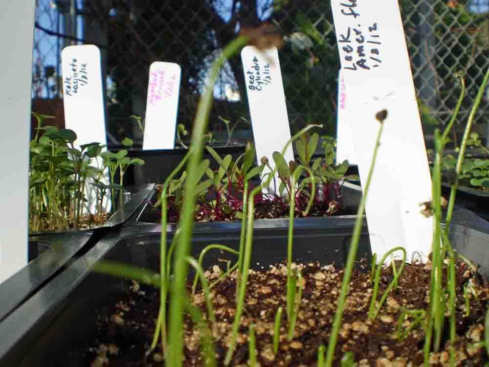 SB College seedlings growing to transplant