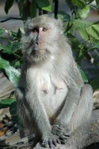 macaca-fascicularis
