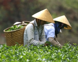 Vietnamese farm workers