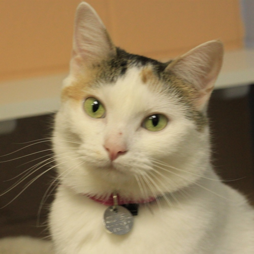 Slinky's one of the many cats available for $5 @ Naperville Area Humane Society