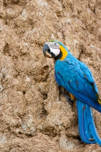 Macaw at Amazon's Largest Clay Lick