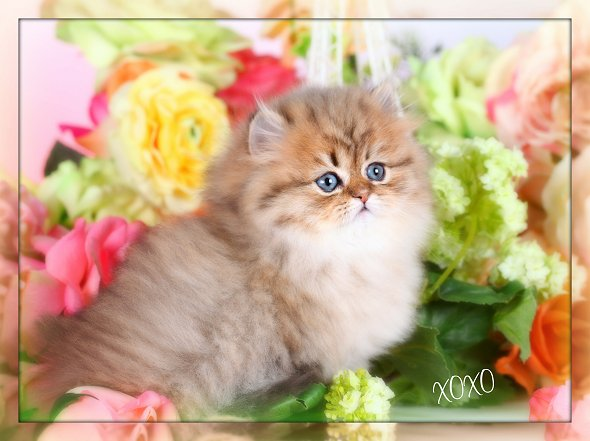 Teacup Kittens For Sale - Small in size, huge personalities ...