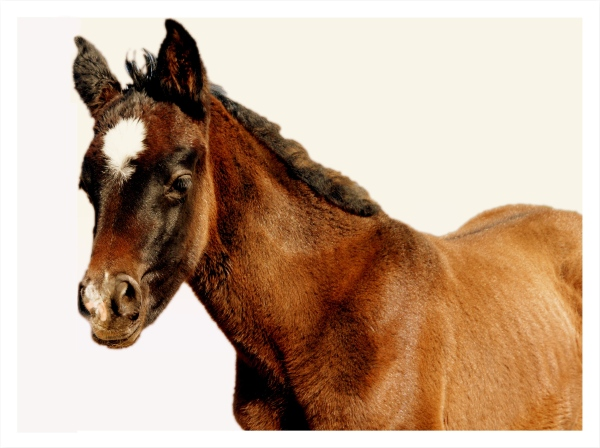 Valenti's Star, a foal delivered from a rescued mare at Irene Valenti's