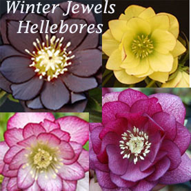 hellebores collection square