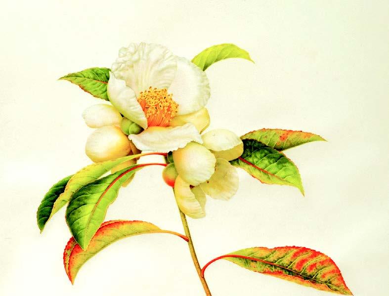 Franklinia, Watercolor on Vellum, (C) 2010 Karen Kluglein