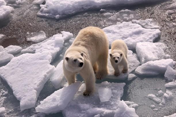 Mummy and baby polar bear