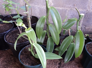 Vanilla growing in the nursery in Naturewalk