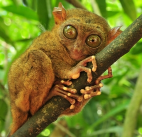 The rare Tarsier