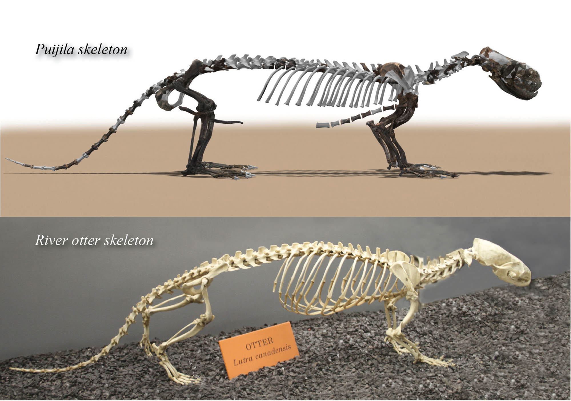 Puijila Skeleton Similar to Modern Otter