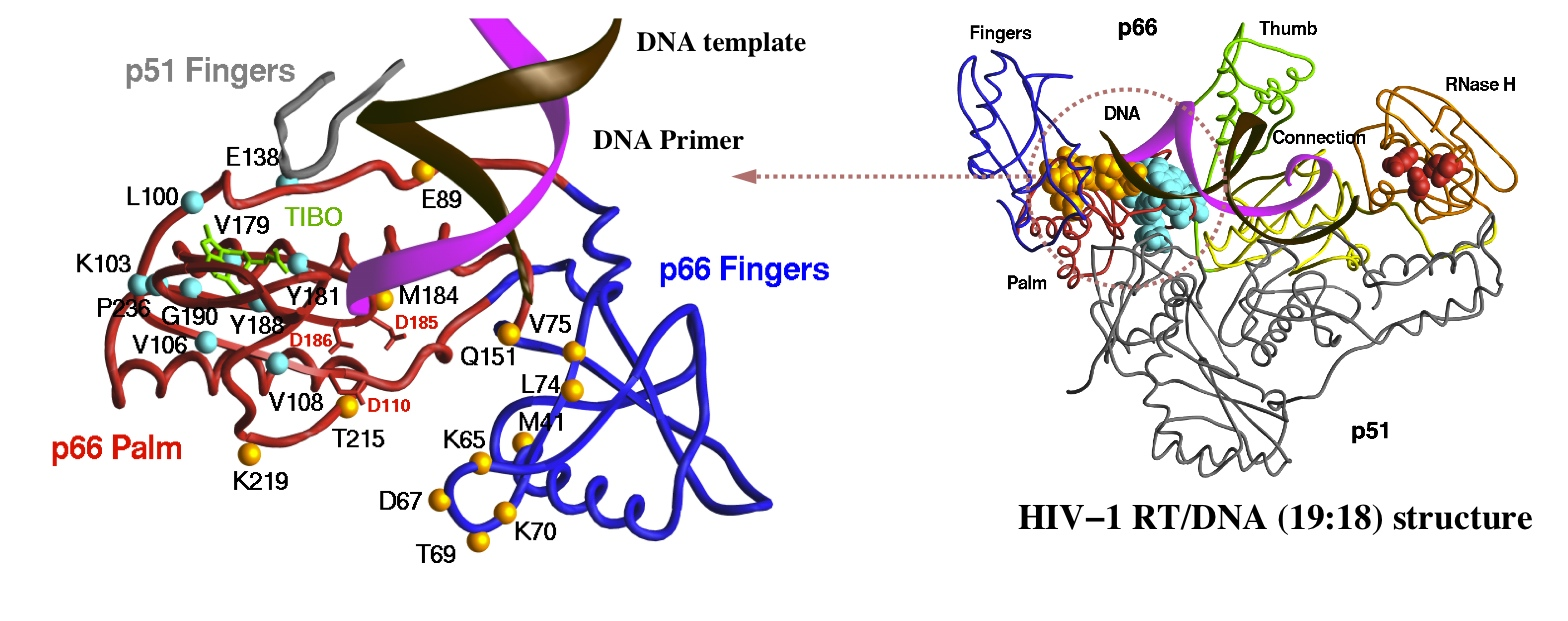 Primary drug resistance mutations site in HIV-1 RT structure are shown.