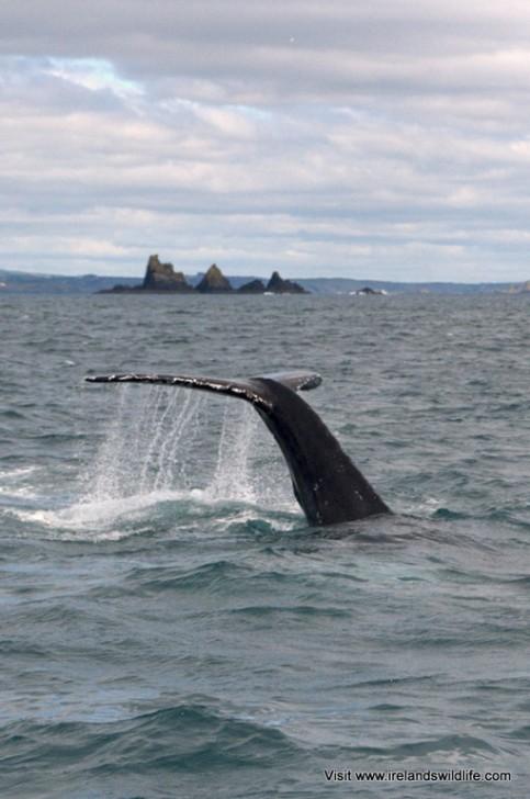 A humpback whale puts on a show off the West Cork coast
