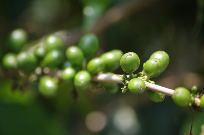 green-coffee-bean-extract-diet
