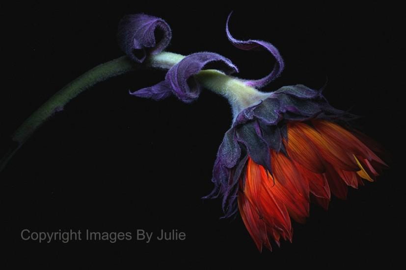 Images By Julie Sun Flower