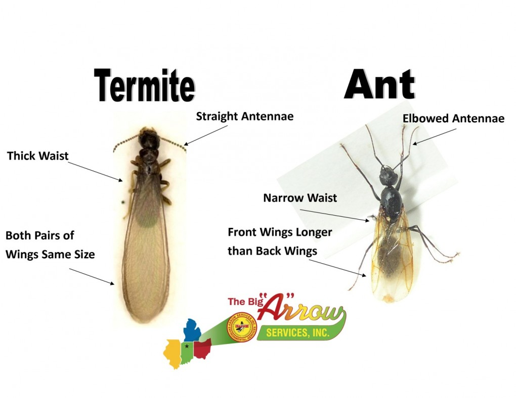 Winged termites in my house