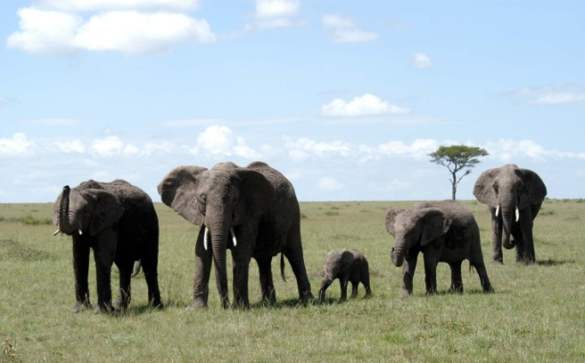 Family Of Elephants, Tanzania, Africa