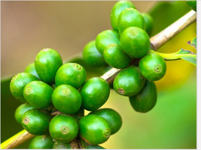 Green-Coffee-Tree