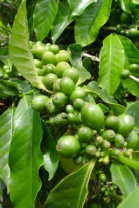 green_coffee_beans-