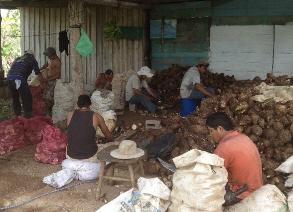 Preparing the tiquisque for planting