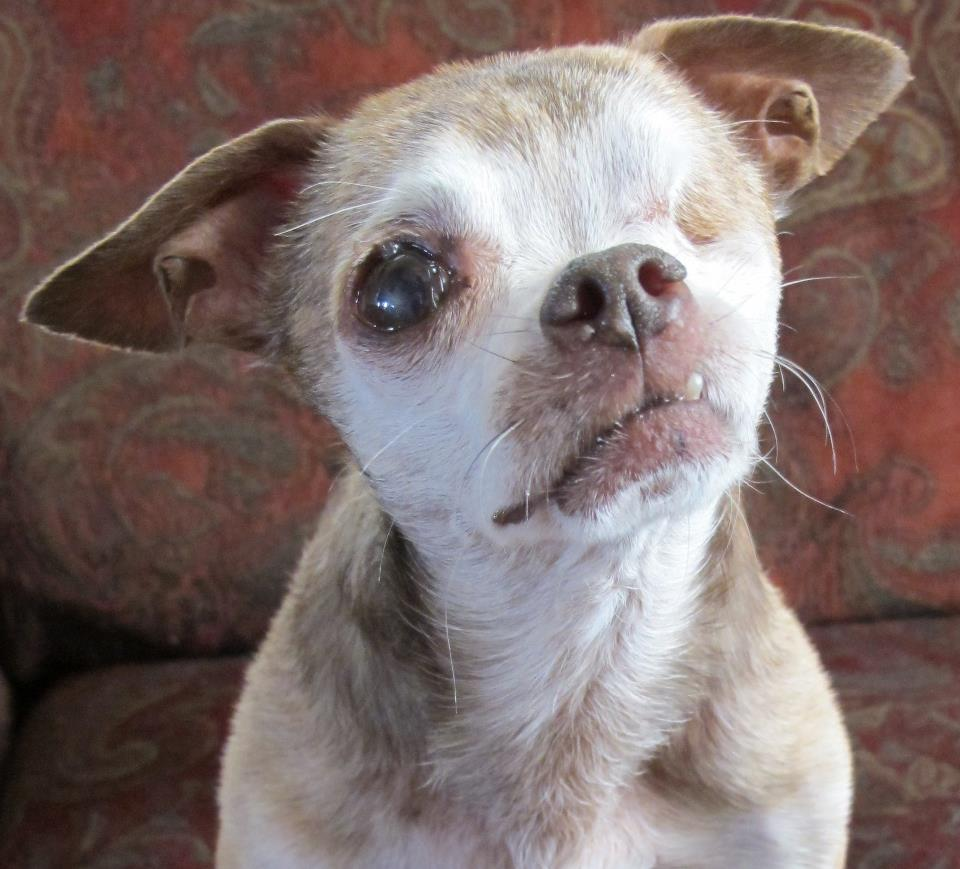 Harley, Puppy Mill Survivor