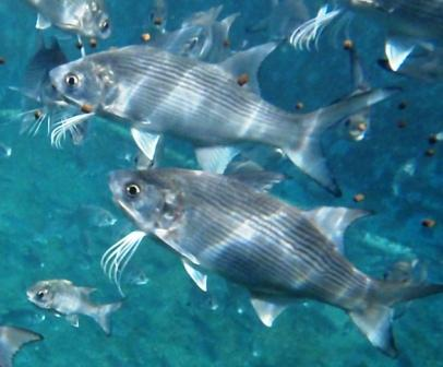 Locally made aquafeed is a major step in the development of  RMI aquaculture.